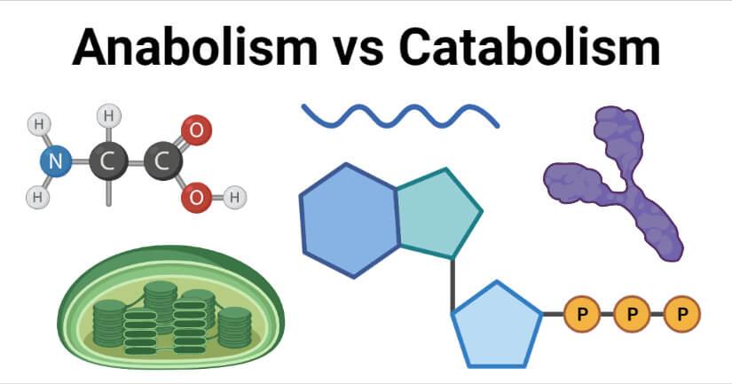 Anabolism vs Catabolism