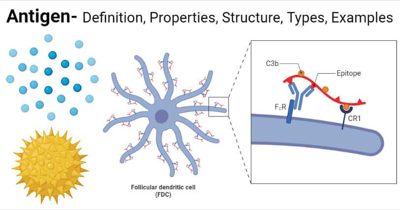 Antigen- Definition, Properties, Structure, Types, Examples