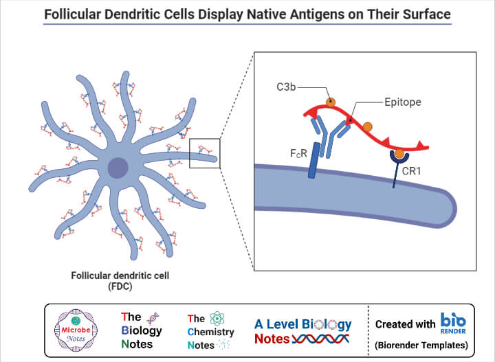 Follicular Dendritic Cells Display Native Antigens on Their Surface