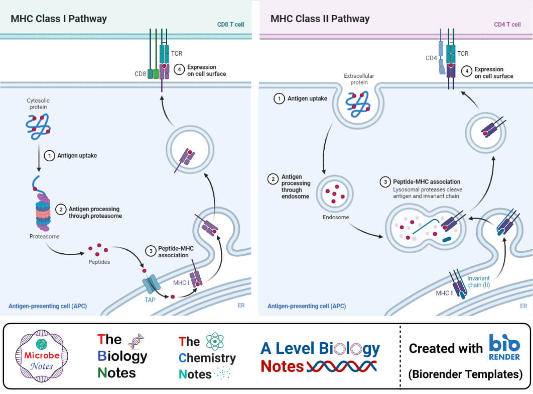 MHC Class I and II Pathways