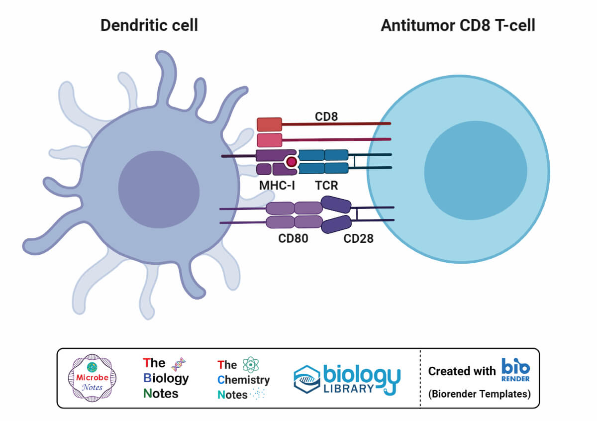 Antitumor CD8 T-cell and Dendritic Cell