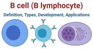 B cell (B lymphocyte)- Definition, Types, Development, Applications
