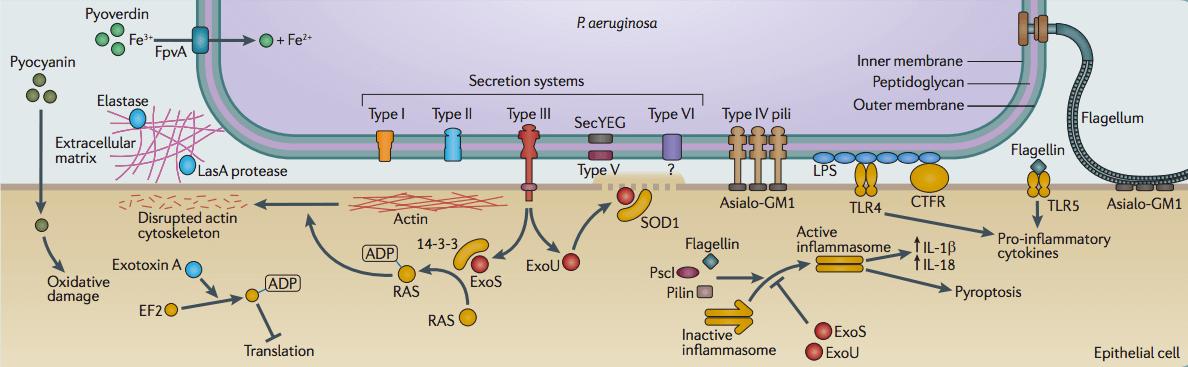 Pathogenesis of Pseudomonas aeruginosa