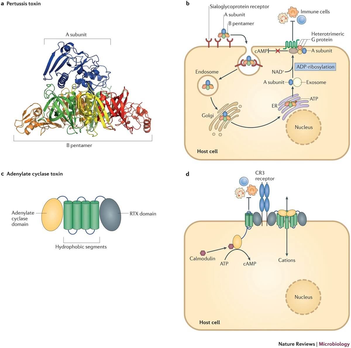 Virulence Factors of Bordetella pertussis