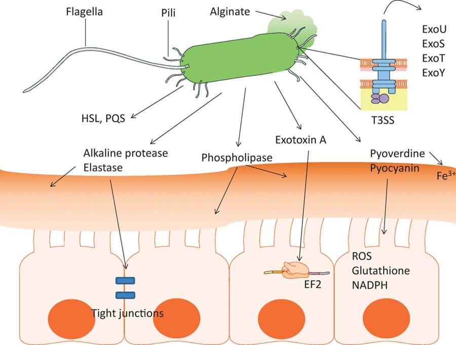 Virulence Factors of Pseudomonas aeruginosa