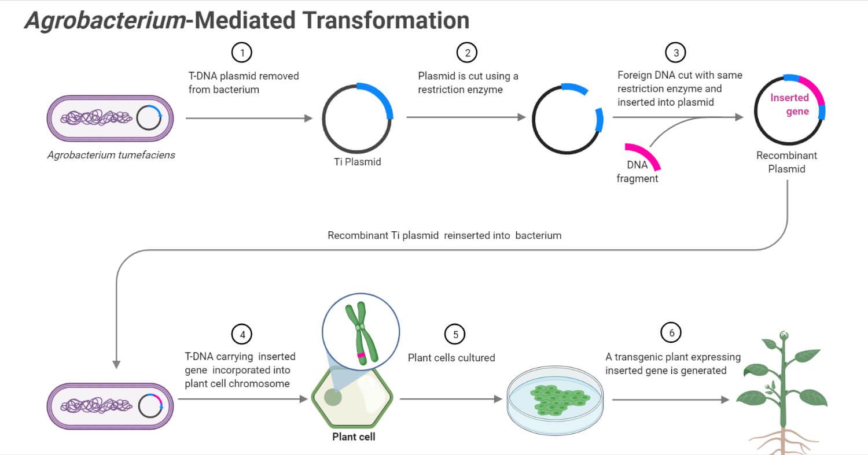 Agrobacterium-Mediated Gene Transfer (Transformation) in Plants