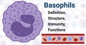 Basophils
