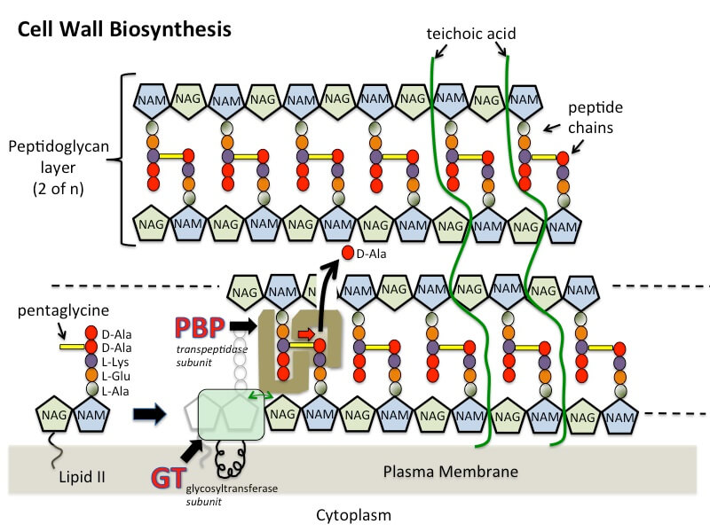 Cell Wall Biosynthesis