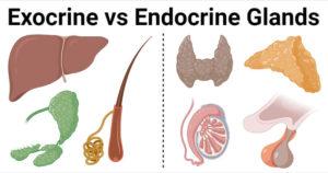 Exocrine-Glands-vs-Endocrine-Glands