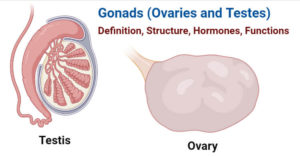 Gonads (Ovaries and Testes)