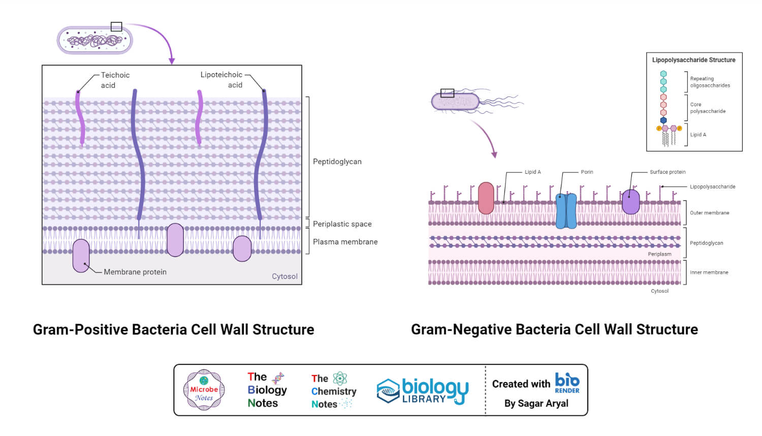 Gram positive and gram negative cell wall structure