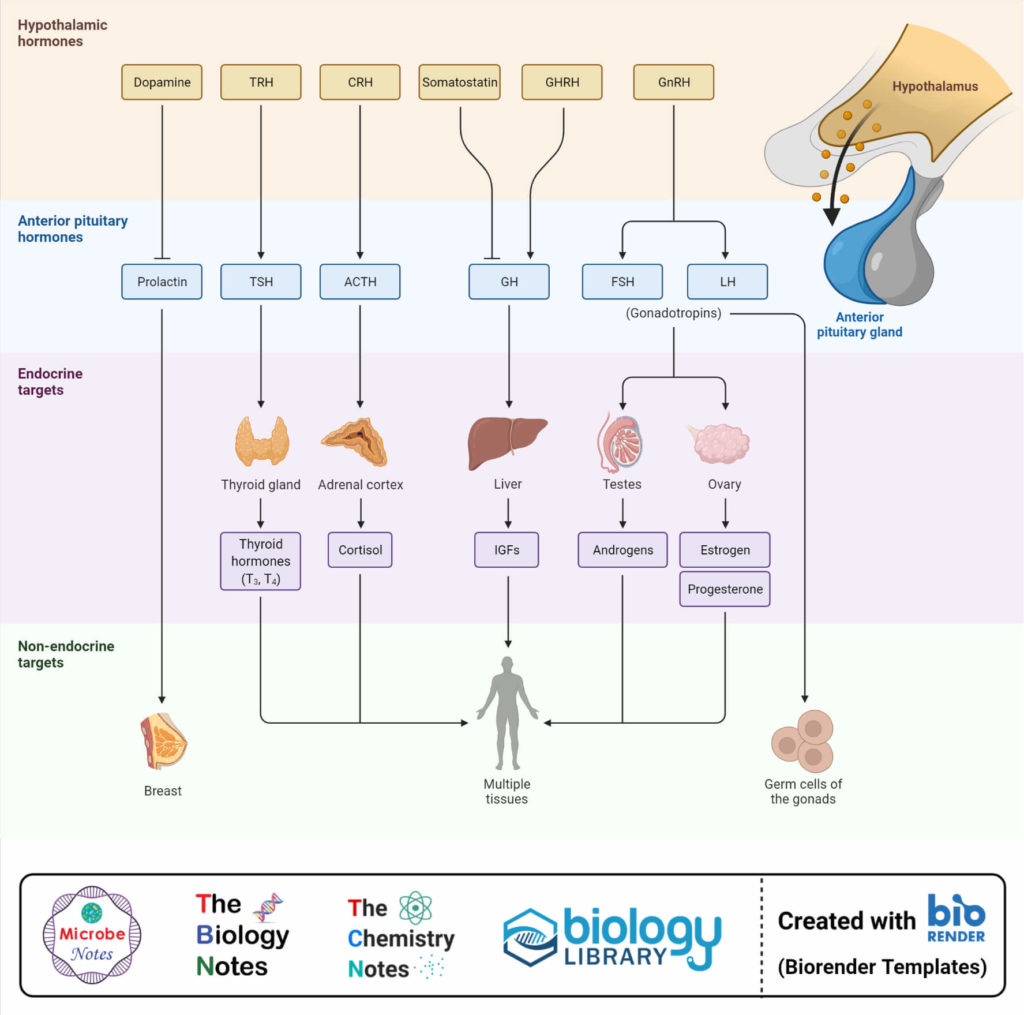 Hormones of the hypothalamus and pituitary gland