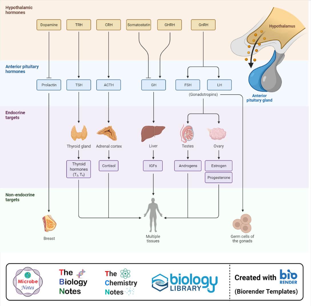 Hypothalamic and Anterior Pituitary Hormones