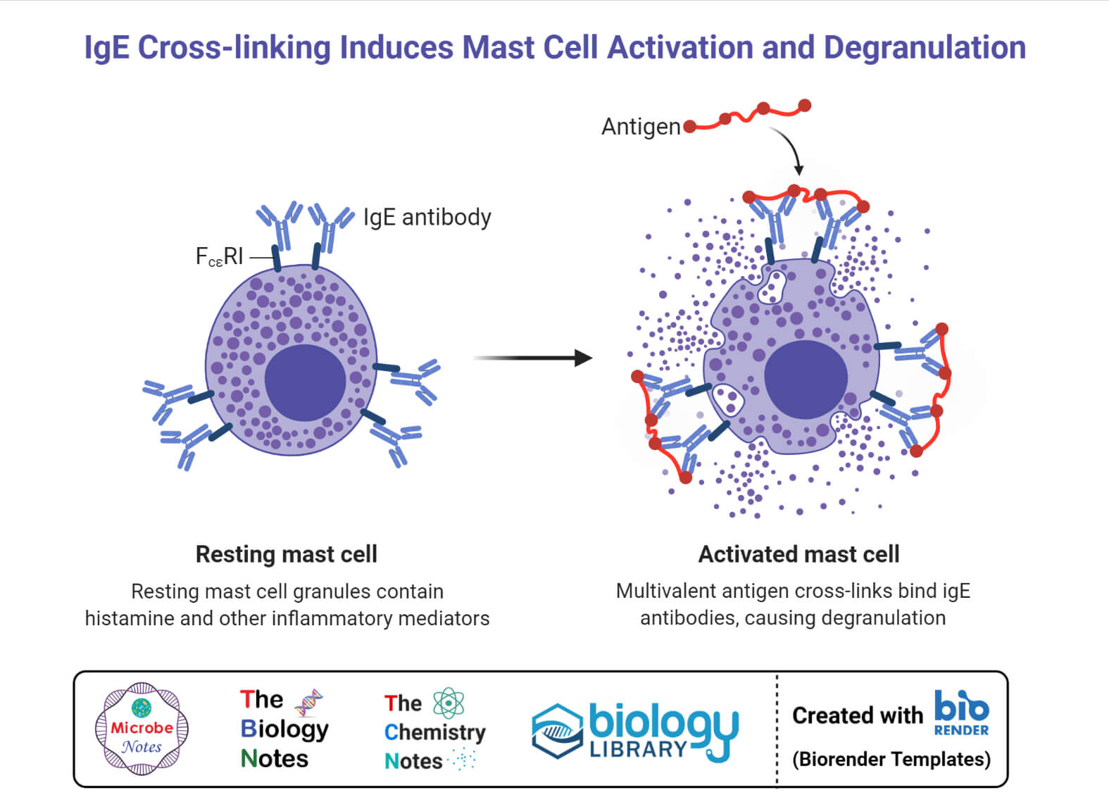 IgE Cross-linking Induces Mast Cell Activation and Degranulation