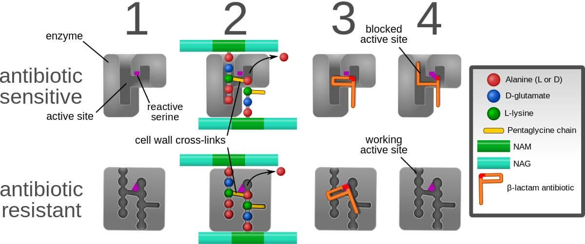 Mechanism of MRSA (ORSA) resistance to β-lactam antibiotics
