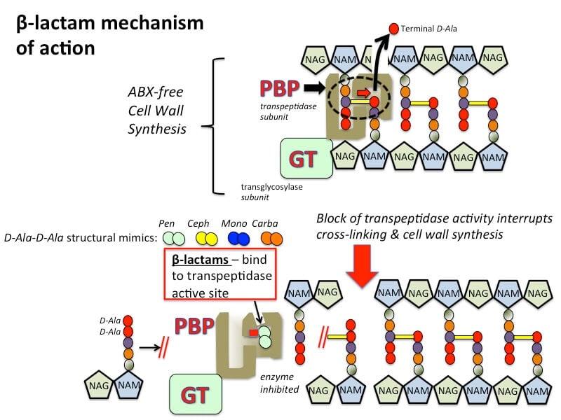 Mechanism of action of beta-lactam antibiotics.