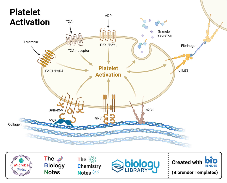 Platelet Activation