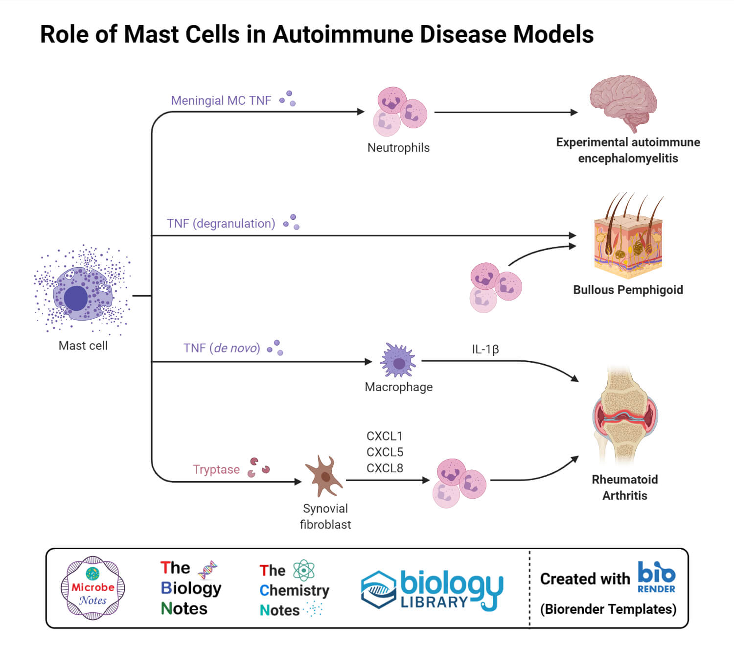 Role of Mast Cells in Autoimmune Disease Models