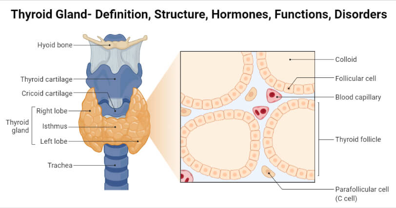 Thyroid Gland Anatomy and Histology