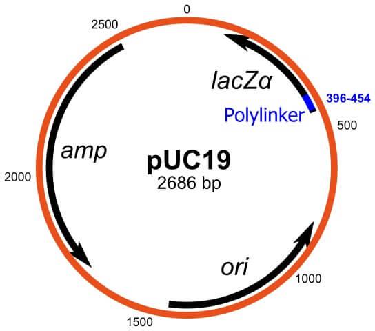 pUC19 Vector