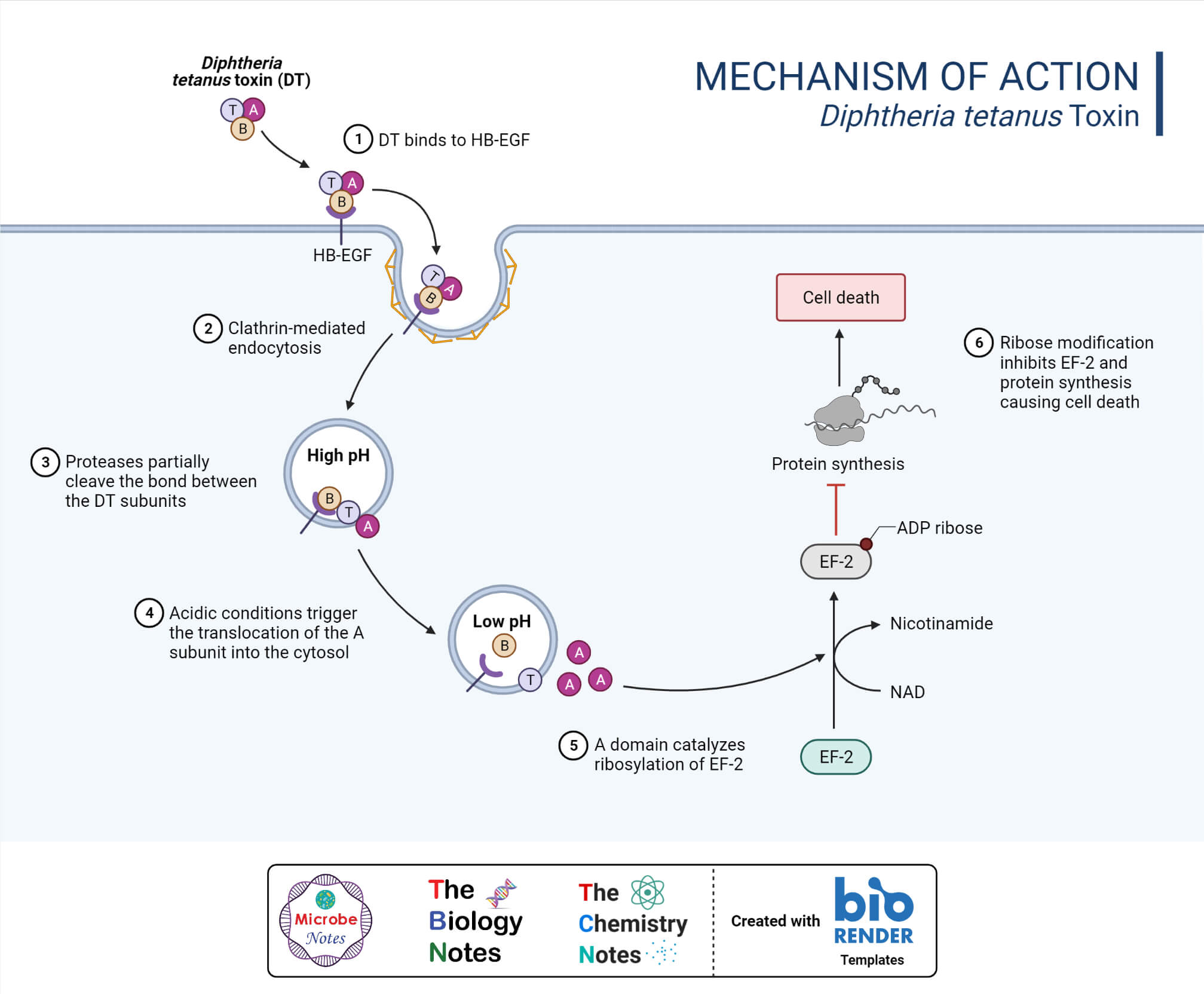 Inhibition of Protein Synthesis by Diphtheria Toxin