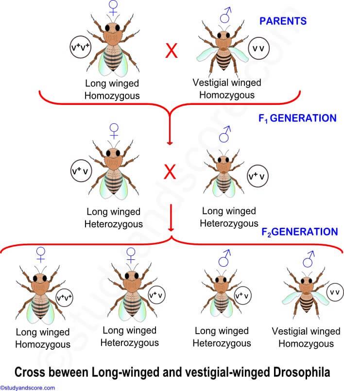 Law of Segregation- Morgan's work on Drosophila