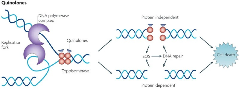 Mechanism of action of DNA Synthesis Inhibitors