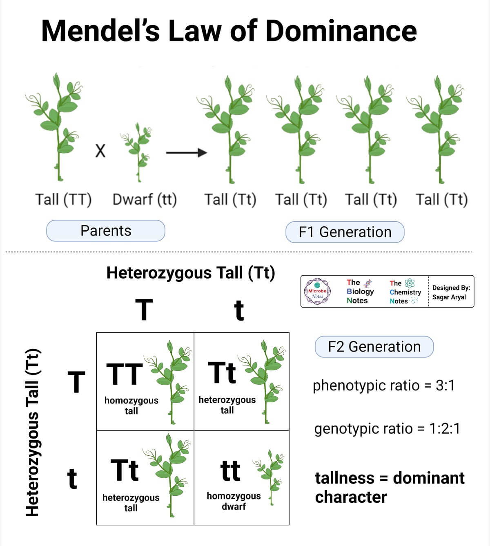 Mendel's Law of Dominance- Pea Plant