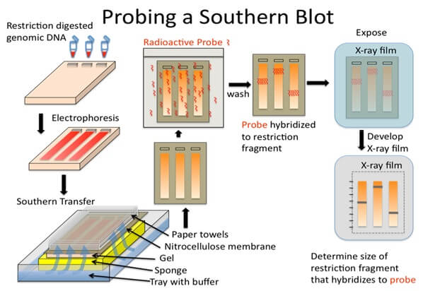 Procedure of Southern Blot