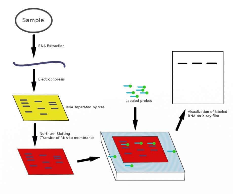 Procedure or Steps of Northern Blot
