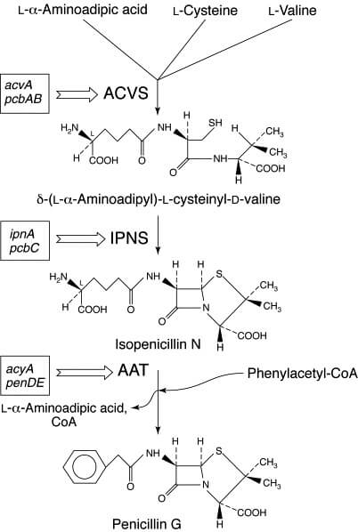Biosynthesis of Penicillin