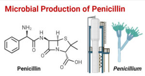 Microbial Production of Penicillin