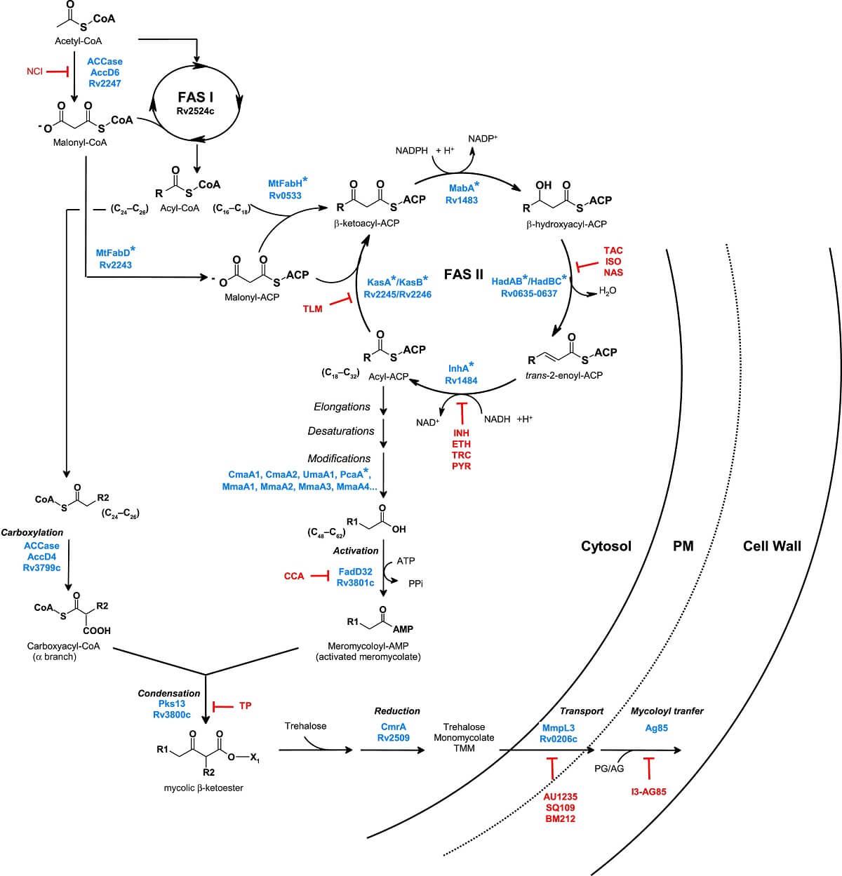 Mycolic acid biosynthesis