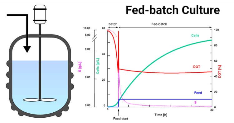 Fed-batch Culture